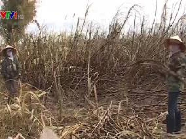 Hơn 120 ha mía tại Đăk Lăk bị cháy rụi, nhiều hộ dân nguy cơ trắng tay