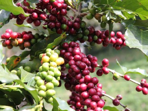 Cà phê vụt tăng trước lễ Noel, giá tiêu chững lại