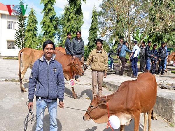 Tặng bò cho nông dân nghèo tỉnh Lâm Đồng