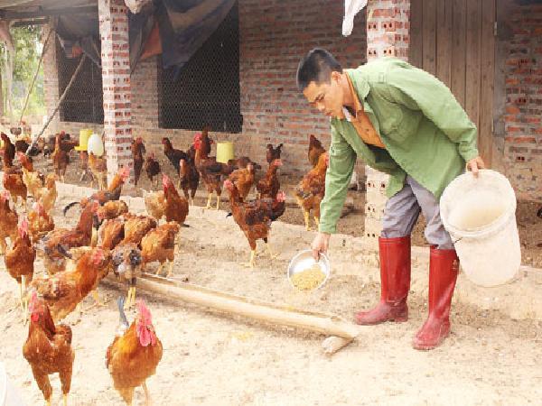Tuyệt chiêu cho gà ăn... tỏi, thu tiền tỷ của nông dân Hải Hà