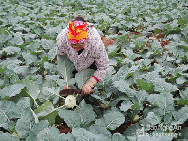 Nông dân Diễn Châu thắng lợi vụ rau cuối năm