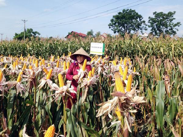 Vĩnh Phúc: Trên 4,6 tỷ đồng hỗ trợ trồng ngô biến đổi gen NK4300Bt/GT
