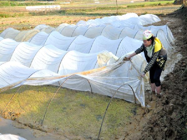 CS-Một số biện pháp chống rét cho mạ và lúa sau khi cấy