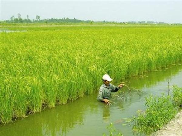 CS-Một số vấn đề cần lưu ý khi canh tác lúa trên đất nuôi tôm