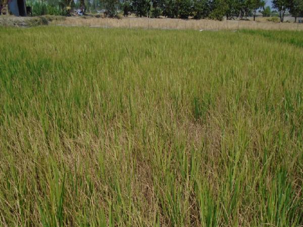 CS-Một số giải pháp xử lý ngộ độc mặn cho cây lúa