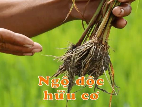 CS-Kỹ thuật xử lý ngộ độc phèn, ngộ độc phân hữu cơ cho cây lúa