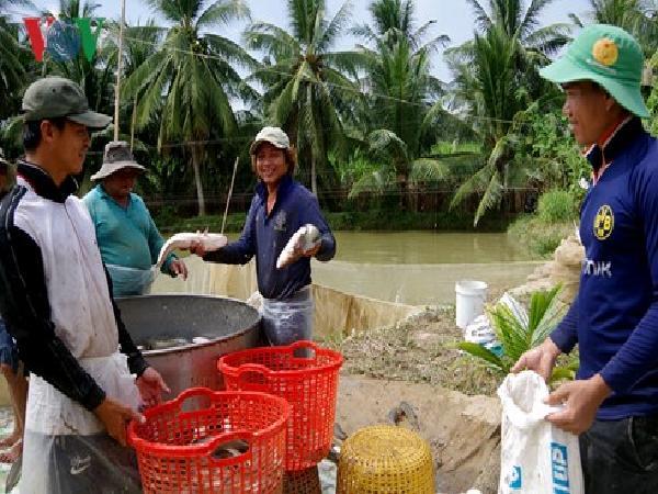 Nông dân ĐBSCL lại ồ ạt mở rộng diện tích nuôi cá lóc