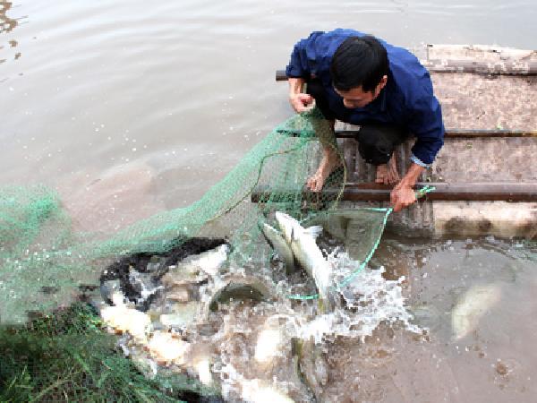 Nuôi cá vược thâm canh - hướng đi mới cho nuôi trồng thủy sản vùng ven biển
