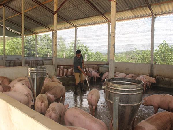 Giá lợn tăng, người nuôi đã có lãi