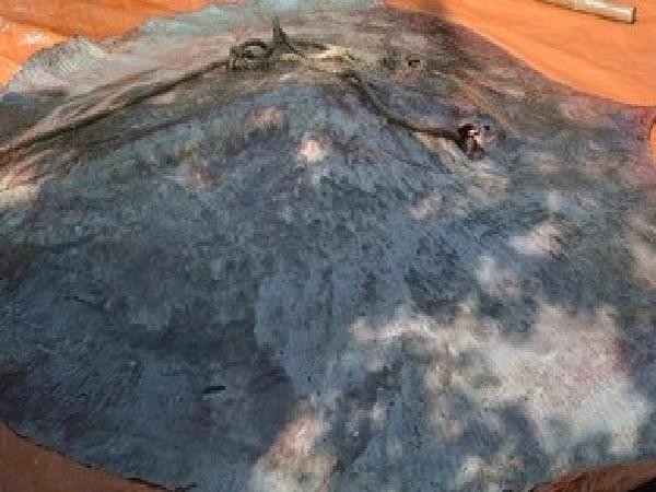 Bắt được cá đuối khổng lồ 220 kg trên sông Tiền