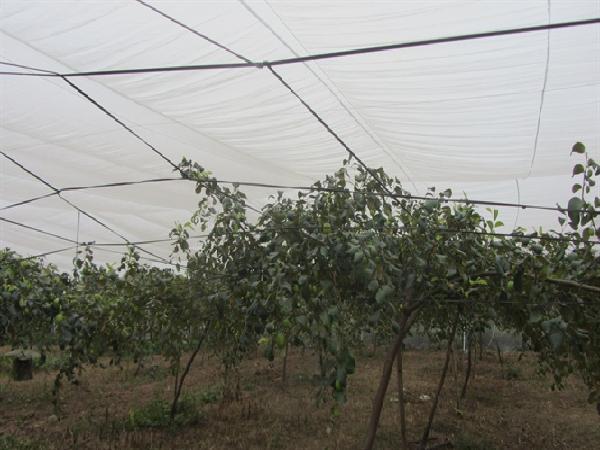 SB-Làm nhà lưới ngăn ruồi vàng hại táo