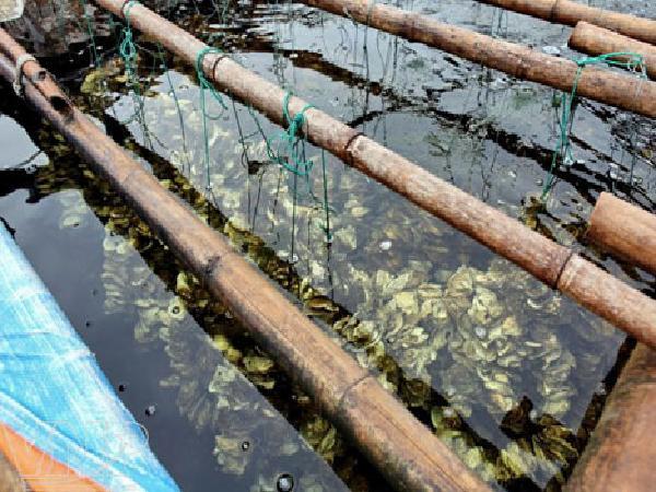NT-Kỹ thuật nuôi hàu trong ao đầm