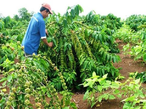 CS-Một số biện pháp kỹ thuật chăm sóc vườn cà phê những tháng cuối mùa khô, đầu mùa mưa
