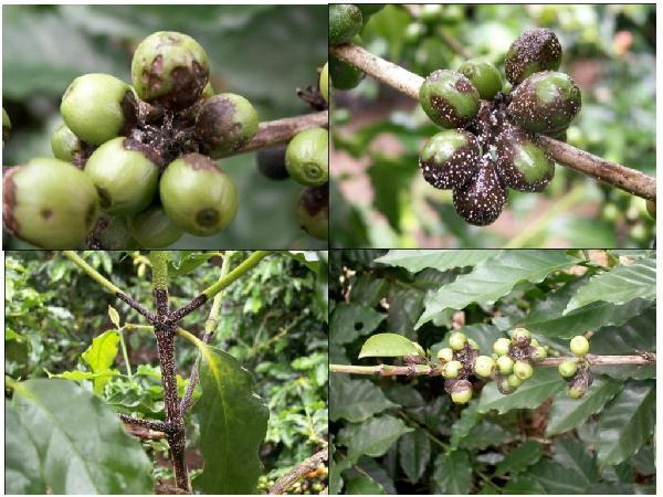 SB-Phòng trừ một số bệnh hại cây cà phê