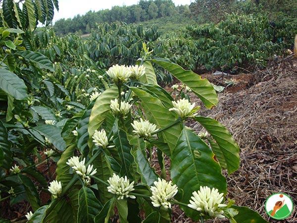 CS-Quy trình tái canh cây cà phê vối