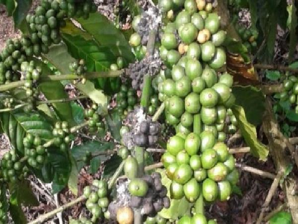 SB-Quy trình quản lý tổng hợp rệp sáp và một số sâu bệnh hại trên cà phê tại Tây Nguyên
