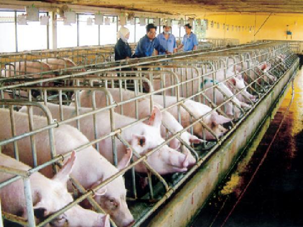 Cà Mau phát triển chăn nuôi theo hướng năng suất, chất lượng