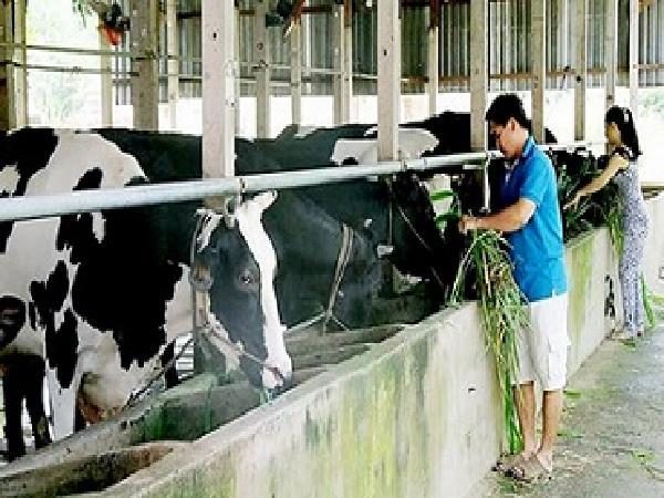 Tiếp tục chính sách hỗ trợ nông dân chăn nuôi bò sữa