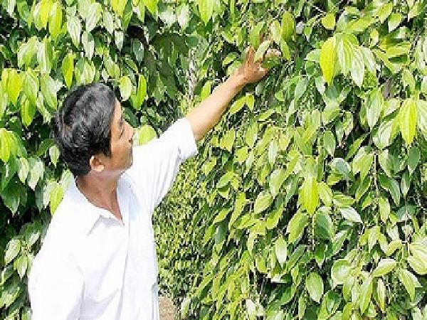 Người trồng hồ tiêu lo lắng vì giá giảm sâu