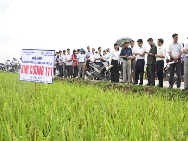 Công nhận chính thức giống lúa thuần Kim Cương 111