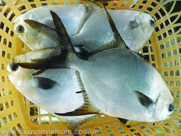"""NT-""""Bỏ túi"""" kỹ thuật nuôi cá chim vây vàng"""