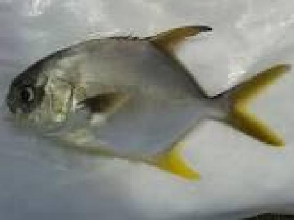 NT-Kỹ thuật nuôi cá chim biển vây vàng