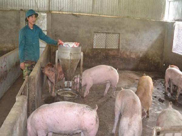 Nguồn cung heo thịt cho Tết Nguyên đán: Người chăn nuôi e ngại tăng đàn
