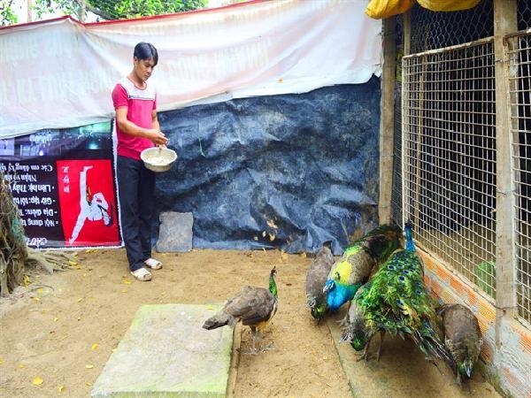 Người đầu tiên ở đất Tây Đô nuôi chim công thương phẩm thành công