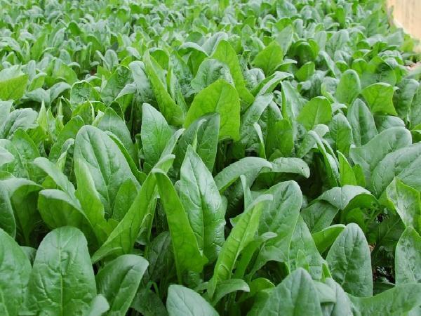 CS-Quy trình kỹ thuật trồng cải bó xôi