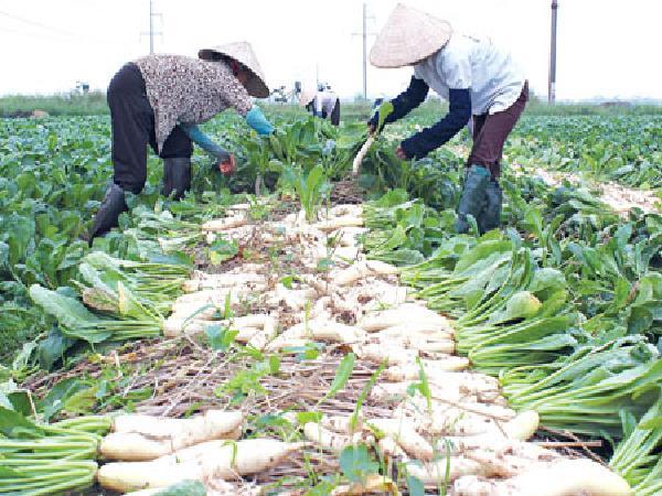 CS-Kỹ thuật trồng củ cải