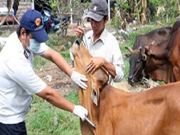 Xuất cấp 40 nghìn liệu vac-xin LMLM cho tỉnh Ninh Thuận