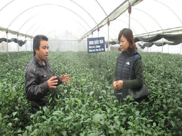 Thái Nguyên: Sản xuất chè trong nhà kính đem lại hiệu quả cao