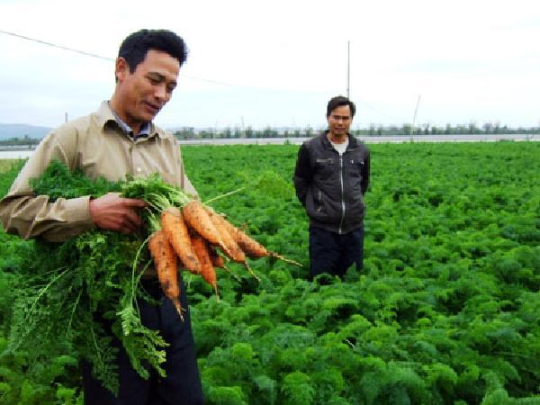 CS-Kỹ thuật trồng và chăm sóc cây cà rốt