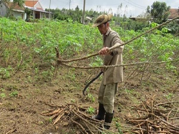 Người trồng sắn nguy cơ thiệt hại kép