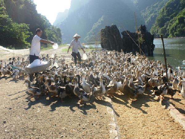 Nghệ An: Thành công nuôi vịt Ðại Xuyên