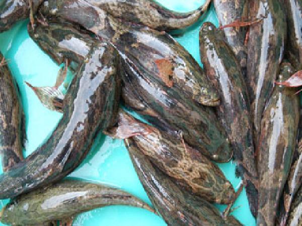 NT-Sản xuất giống và nuôi cá bống tượng (Phần 2)