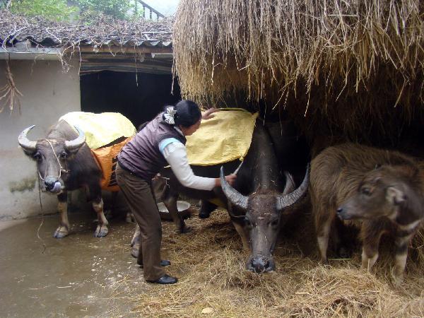 N-Biện pháp chăm sóc, quản lý trâu, bò trong vụ rét