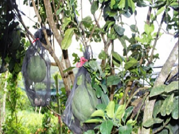 Tiền Giang: Nhà vườn mất ngủ vì nạn trộm bưởi hoành hành