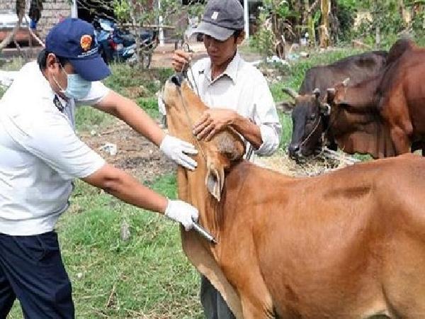N-Bí quyết phòng, tránh 4 bệnh cho trâu bò khi trời rét