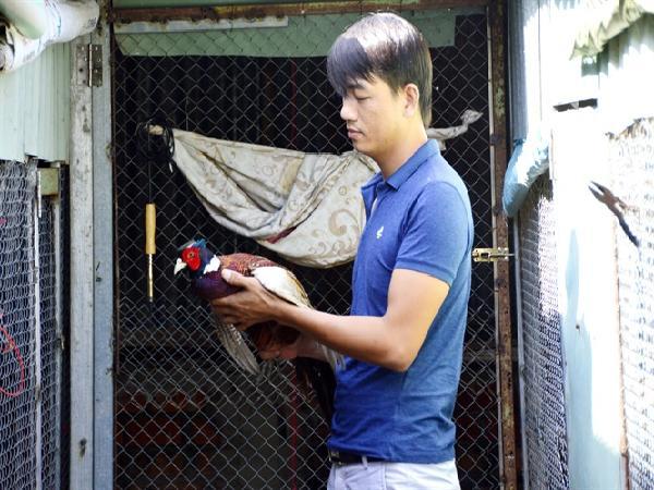 Nuôi chim trĩ trên đệm lót sinh học, lãi hơn nhiều lần gia cầm