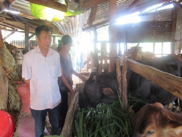 Đắk Lắk: Bước tiến mới trong công tác thụ tinh nhân tạo cho bò