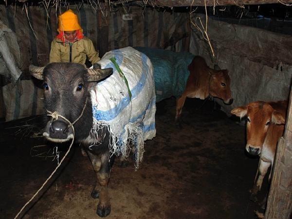 Đàn trâu bò vùng cao Yên Bái đổ gục trong rét buốt