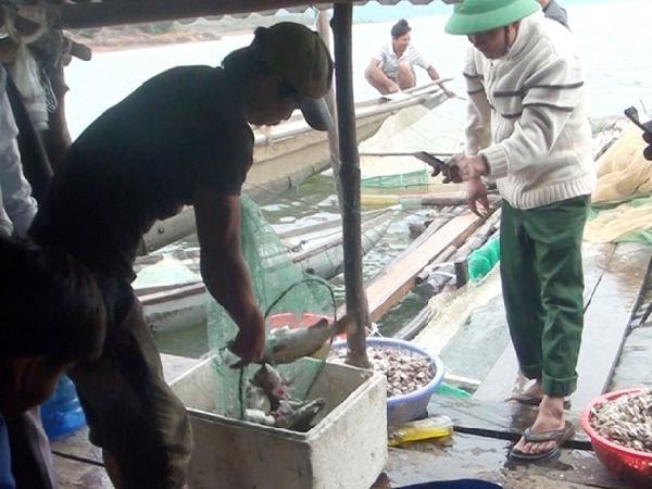 Phú Yên: Nuôi cá chẽm giúp người dân tăng thu nhập, ổn định cuộc sống