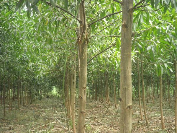 CS-Kỹ thuật trồng Keo lai