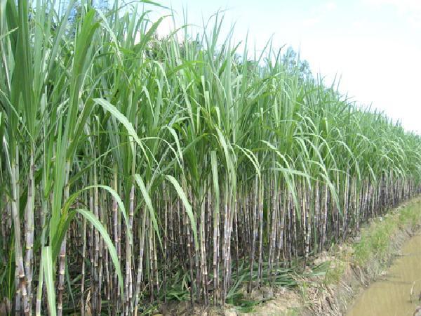 CS-Quy trình kỹ thuật trồng thâm canh mía đường công nghiệp (Phần 2)