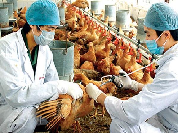 Việt Nam có nguy cơ bị xâm nhiễm vi rút cúm gia cầm cao
