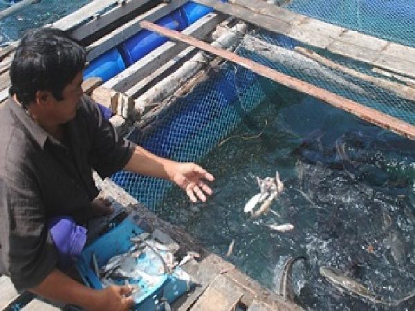 Cá bớp đảo Hòn Chuối bị mù hàng loạt, người nuôi lao đao