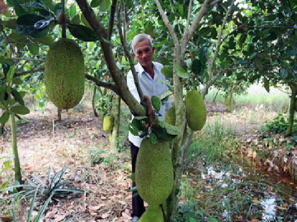 Tiền Giang: Chán khóm, trồng 1,2ha mít Thái siêu sớm, lãi ròng hơn nửa tỷ