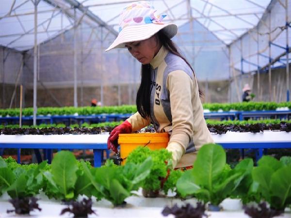 Ngưỡng mộ mô hình trồng rau thủy, khí canh công nghệ cao, lãi 7 - 8 tỷ/ha, n