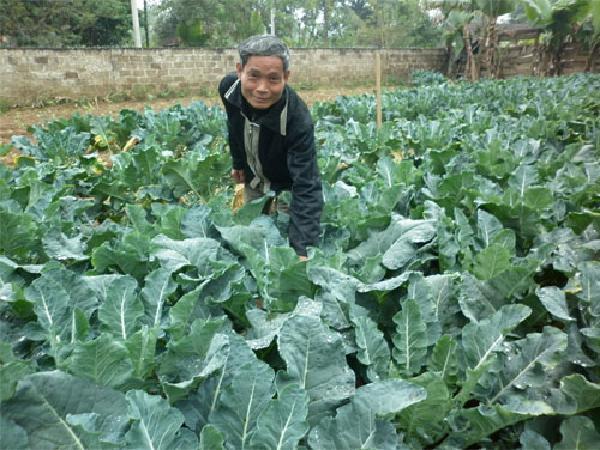 CS-Kỹ thuật gieo trồng súp lơ